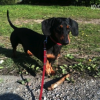 Lost Dachshund – Suffers from Epilepsy