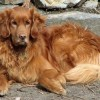 Ask A Vet: Why does my Golden Retriever stink?