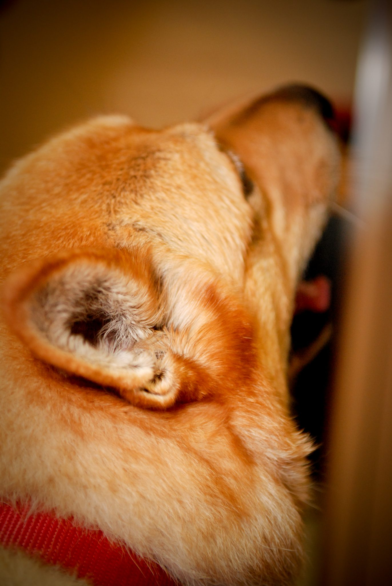 Severe Dog Ear Infection