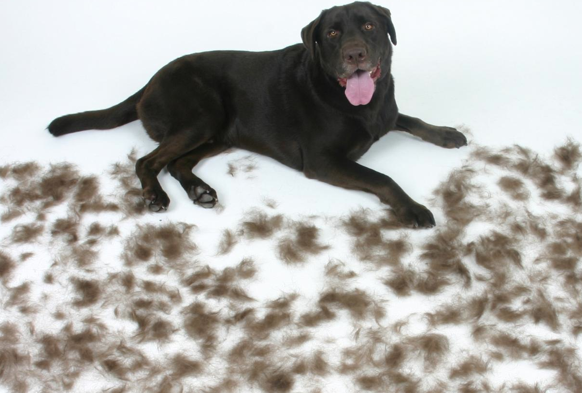 Ask A Vet: My dog is shedding a lot!