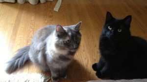 Scarlett and Mr. Jinx were semi feral kittens rescued at around five months old. They were adopted together a year ago and just recently celebrated their first adoption anniversary.