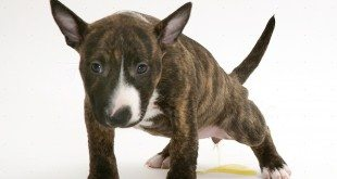 Miniature English Bull Terrier pup, 6 weeks old, urinating