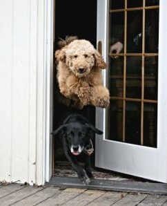 door dashing dogs