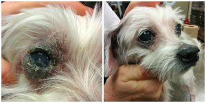 Annie's eye, greatly improved 2 weeks into treatment.