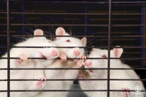 Three white rats in cage White rats, rats in cage, rats Three trapped white rats in a cage