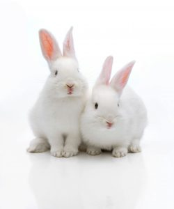 Two white rabbits. Keywords: stock, rabbits, animal testing, research